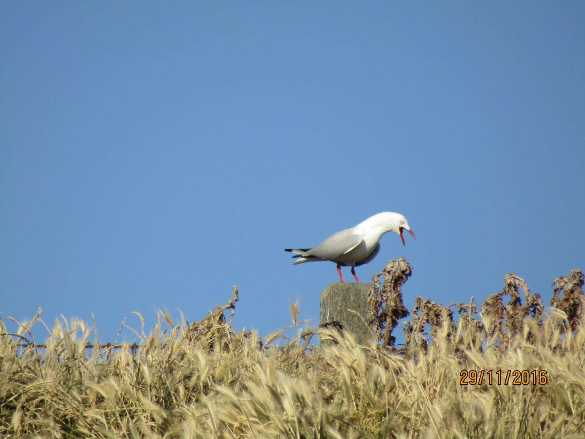 SEABIRD BEING LOUD BY DILANTHA GUNAWARDANA